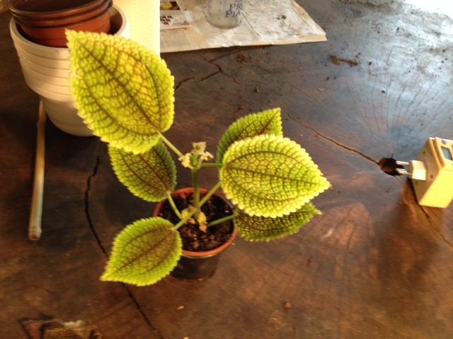 Inconnue achetee comme begonia mais ce n'est pas un....  Pilea involucrata 1401193986-photo