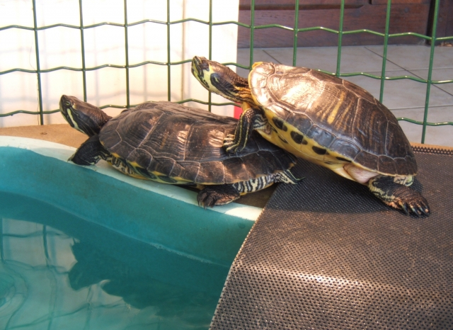 Conseil Tortue Aquatique Ocadia Sinensis Tortue En Captivite