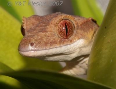 Le gecko a crête